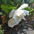 境目は。 Gardenia
