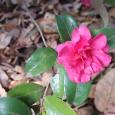 寒椿。 Camellia Shishigashira