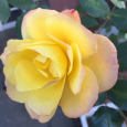 アンネフランクの薔薇。 Souvenir d'Anne Frank