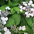 雨を呼ぶ花。 Lacecap hydrangea