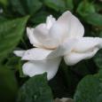 虫も。 Gardenia