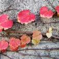 赤。 Red leaves