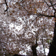 二種。 Someiyoshino & Sendaiya-zakura