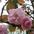 八重。  Double flowering
