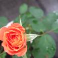 アンネの薔薇 Souvenir d'Anne Frank