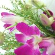 久しぶりのデンファレ。 Cooktown orchid