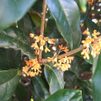 香る。 Fragrant orange-colored olive