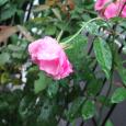雨の中の薔薇。 Roses in the rain