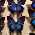 きらめく標本。 Butterfly