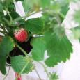 ワイルドストロベリー。 Wild strawberry