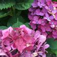 赤紫。 Hydrangea