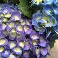 青紫 + 青。Hydrangea