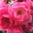 つる薔薇のアンジェラ。 Angela rose