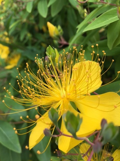 Yellow flower perhaps hypericum family