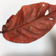 美しいのに。 Fallen leaf