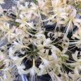 白花曼珠沙華。 Cluster amaryllis
