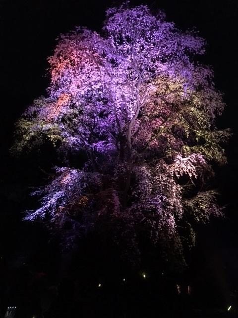枝垂桜にライトアップ。 Weeping cherry in Rikugien