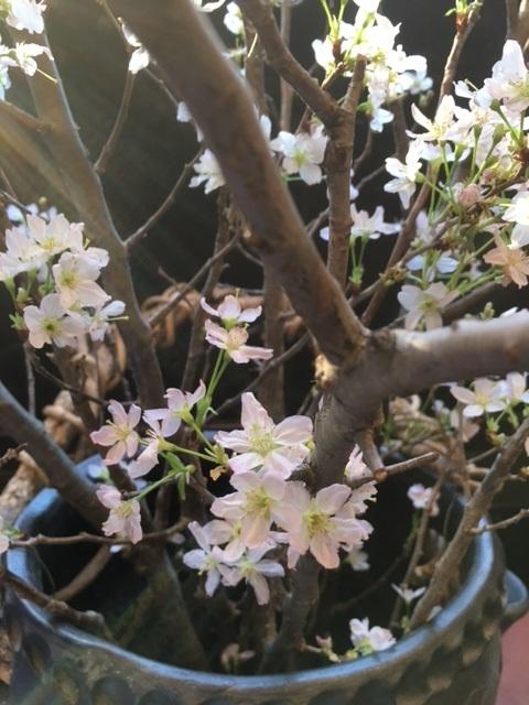 山形からきた啓翁桜。 Keio-zakura